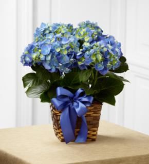 Hydrangea For Easter