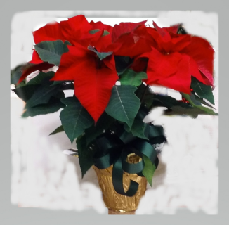 Single Stem Poinsettia